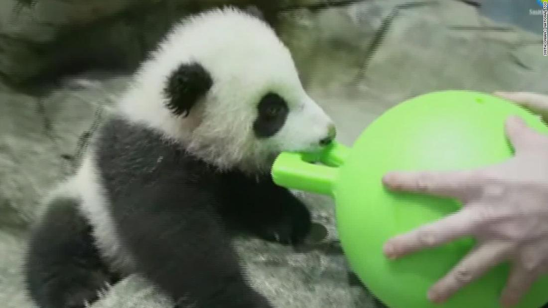 See playful panda cub's virtual debut