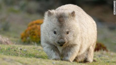 The common wombat (Vombatus ursinus), also known as the coarse-haired or bare-nosed wombat, poops cube-shaped feces.