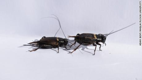 Human-made noise may confuse crickets trying to mate, a new study has found.