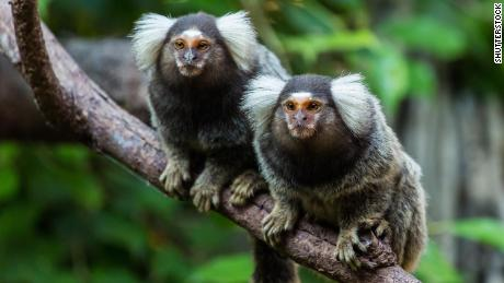 Eavesdropping marmosets understand other monkeys' conversations