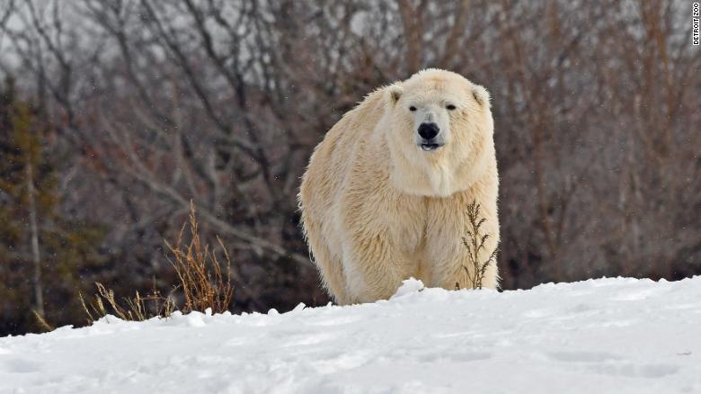 Male polar bear kills female bear during breeding attempt at Detroit Zoo