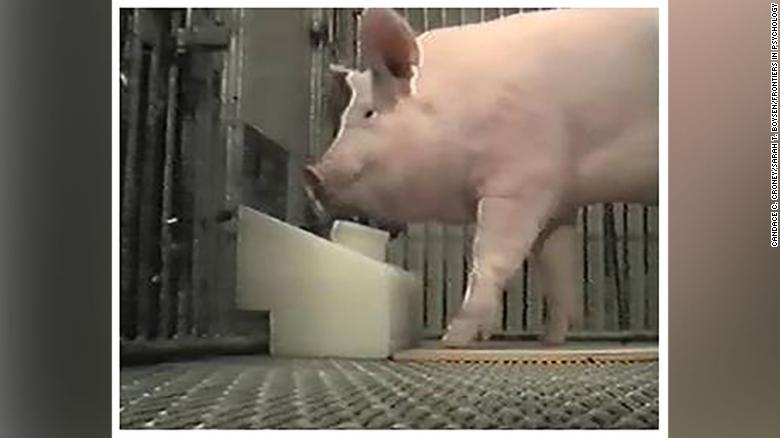 The pigs were found to be capable of operating a joystick to trigger an automatic treat dispenser. (CNN)