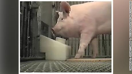 The pigs were found to be capable of operating a joystick to trigger an automatic treat dispenser.