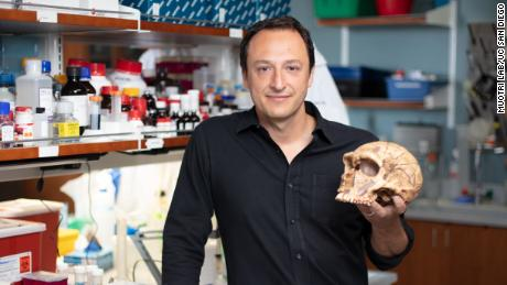 Alysson Muotri, a professor at University of California San Diego School of Medicine, and his team created brain organoids genetically modified to carry a gene that belonged to Neanderthals but not Homo sapiens.