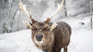 SEVENOAKS, ENGLAND - FEBRUARY 07: A deer is seen in the snow on Knole Park on February 07, 2021 in Sevenoaks, England. Heavy snow in Scotland and South East England over this weekend kick start a week of freezing temperatures across many parts of the UK. (Photo by Leon Neal/Getty Images)