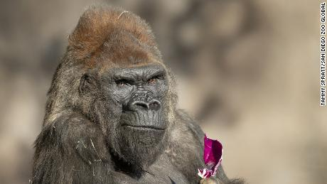 San Diego Zoo gorillas make full recovery from Covid-19