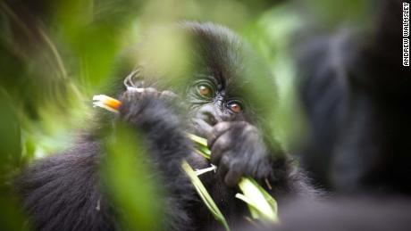 There are only around 1,000 mountain gorillas left in the wild.