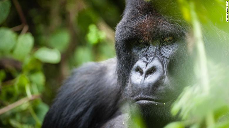 Selfie-taking tourists could be spreading Covid-19 to gorillas