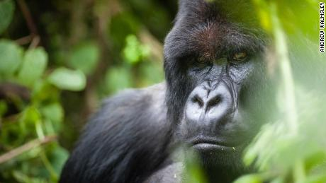 An adult mountain gorilla pictured in Volcanoes National Park, Rwanda.