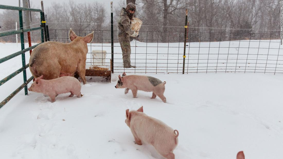 A boy feeds his pigs in St. Joe, Arkansas, on Monday.