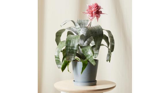 Bromeliad Aechmea Pink