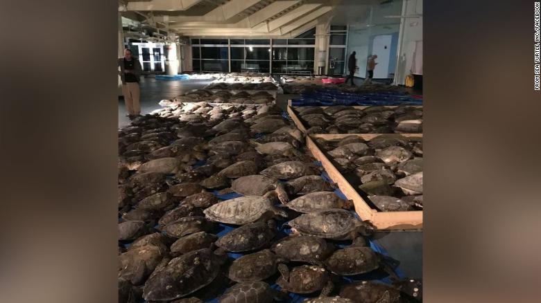 Thousands of turtles have been rescued from freezing waters in Texas 210217114415-restricted-trnd-turtles-texas-exlarge-169