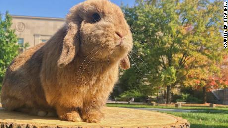 Finn, a Holland Lop rabbit, has already gained thousands of followers on Instagram (@BigRedBun) in his first two years with his owner, Erin Scannell.