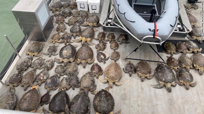 Thousands of turtles have been rescued from freezing waters in Texas 210218124033-01-texas-turtles-freezing-rescue-texas-trnd-exlarge-169
