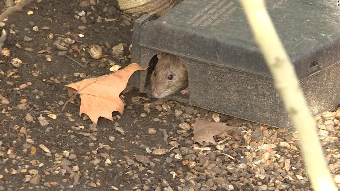 Lockdown has made London a boomtown for rats