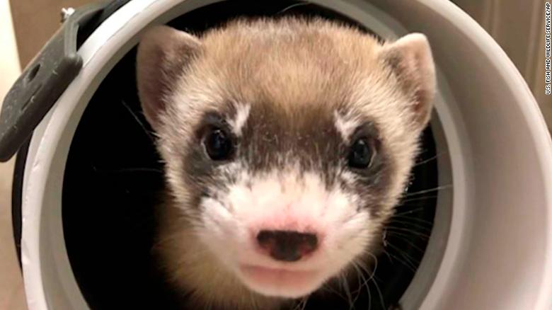 Meet Elizabeth Ann the ferret: The first endangered American animal to be cloned