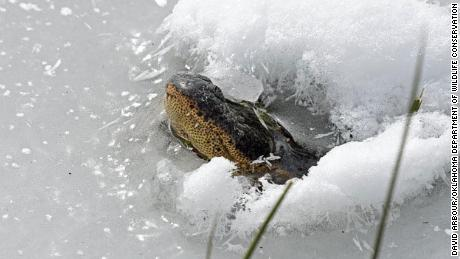 Don't worry -- this alligator is alive. During cold weather, gators stick their snouts above water to keep breathing while lowering their metabolic rates.
