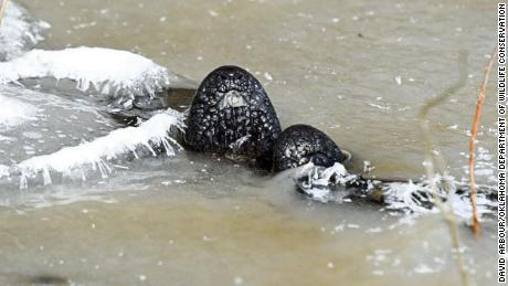 An alligator 'ices' at Red Slough Wildlife Management Area in Oklahoma.
