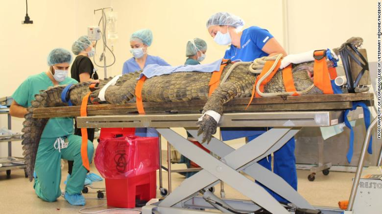 A zoo crocodile in Florida underwent surgery to remove a shoe from her stomach