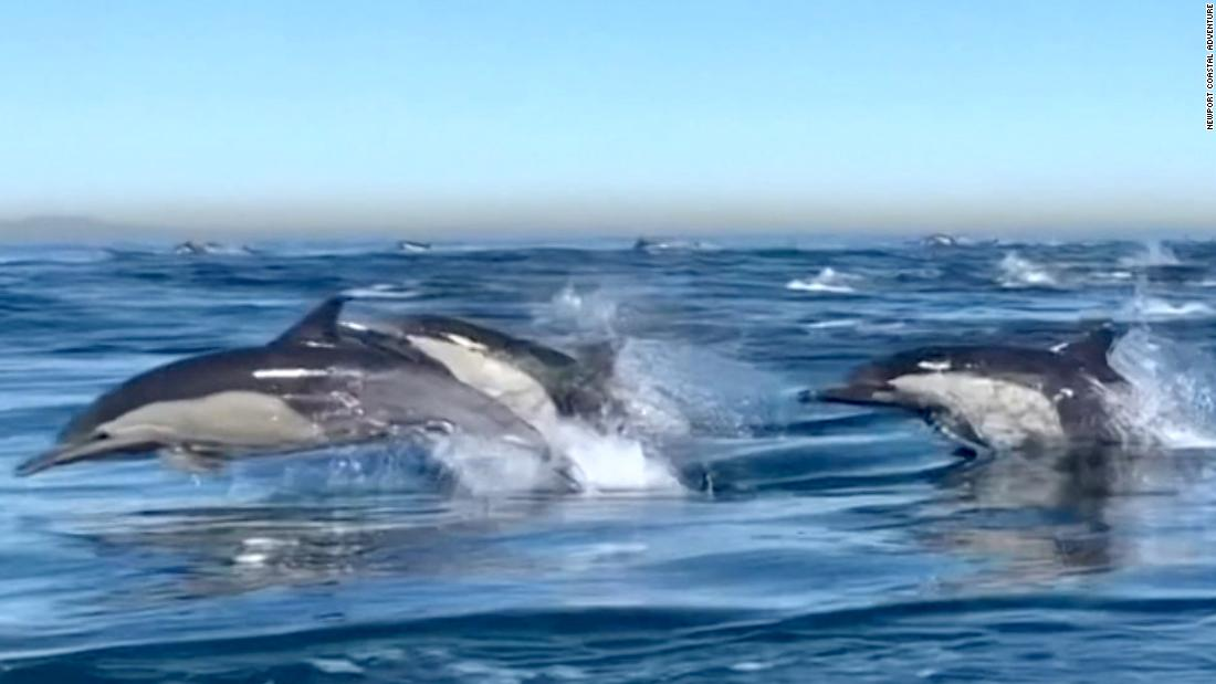 Dolphin 'stampede' caught on camera