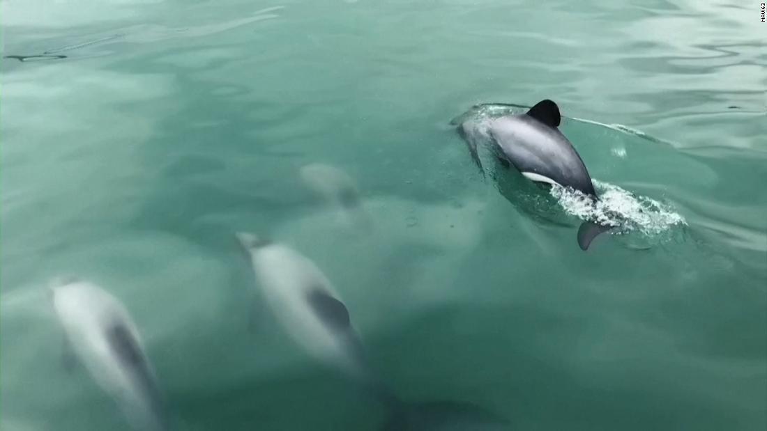 210226165144 maui dolphins orig thumbnail super tease
