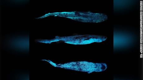"The sharks use bioluminescence to ""disappear,"" researchers say."