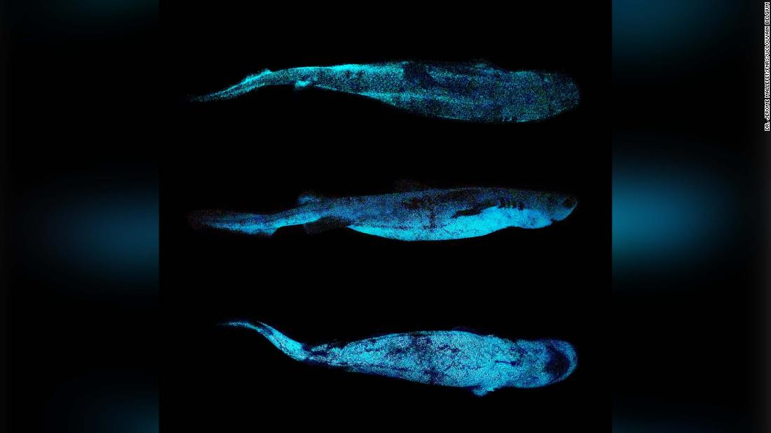 Scientists have taken the first ever picture of a glow-in-the-dark shark