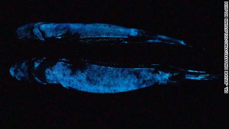 This image shows a lanternshark.