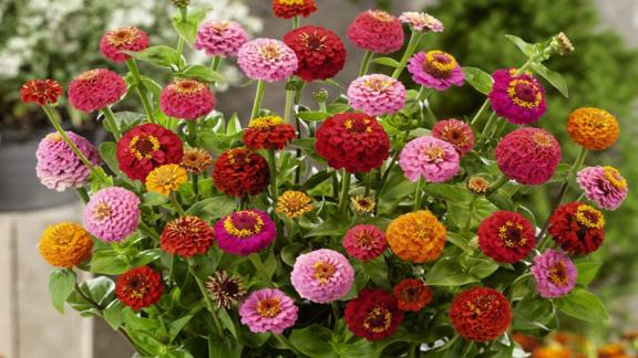 Outsidepride Zinnia Flower Seed Mix, 1,000 Seeds