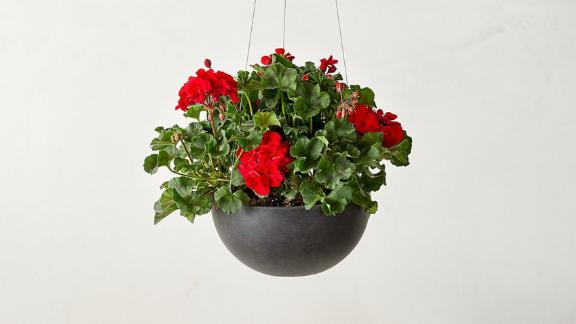 Bloomscape Red Geraniums Accent Kit