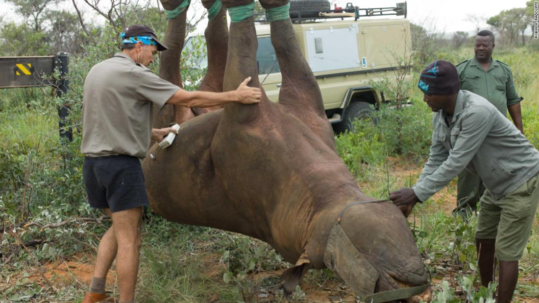 Robin Radcliffe (left) and his team from Cornell University College of Veterinary Medicine suspended 12 black rhinos upside down to monitor the impact on their health. They were surprised to find that rhinos have higher blood oxygen levels when upside down, compared to lying on their side.