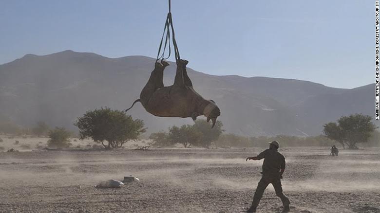 Mengangkat badak dengan posisi ini penting untuk konservasi