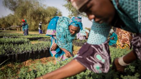 Koyly Alpha, Senegal- Assiatou Ba, part of the Women's Association of Koyly, pulls weeds from seedlings that will be planted in a parcel contributing the Great Green Wall Project in Koyly Alpha, Senegal on Friday, August 2, 2019. 
