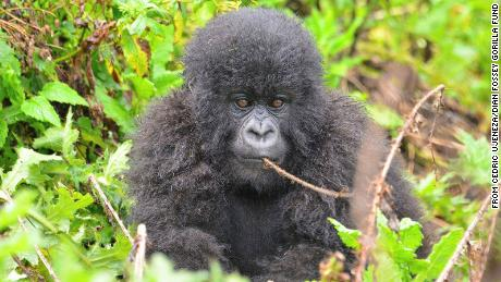 """Redditors kicked off an impromptu donation drive for a gorilla conservation organization after a member of WallStreetBets """"adopted"""" this baby gorilla, Urungano, over the weekend."""