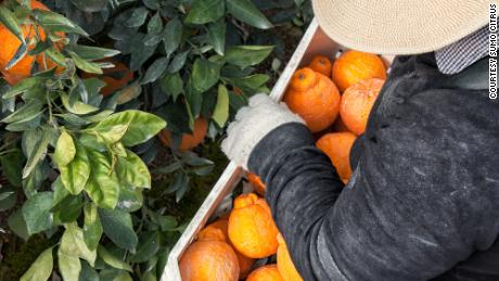 Sumo Citrus mandarins are carefully and meticulously packed   US Press Agency