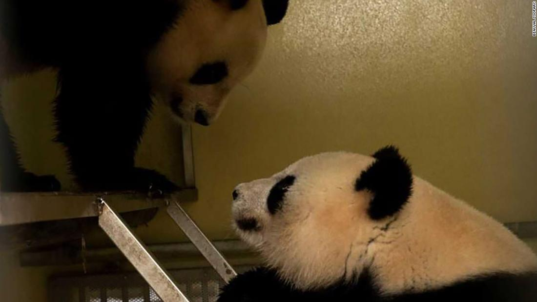 Giant pandas 'on top form' mated 'multiple times' in French zoo