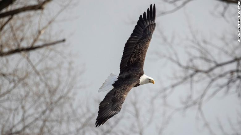 The American bald eagle population has quadrupled since 2009, report says