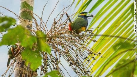 More than 1,000 species of birds live in the Atlantic Forest. Many, like this spot-billed toucanet, feed on jucara berries.