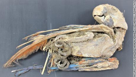 This is a mummified scarlet macaw.