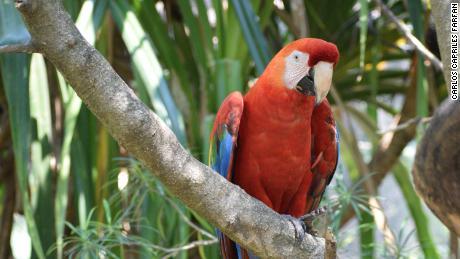 볼리비아 아마존에서 주홍 앵무새가 나타납니다.