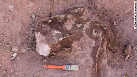 The fossilized remains of Llukalkan aliocranianus included a superbly preserved and uncrushed braincase