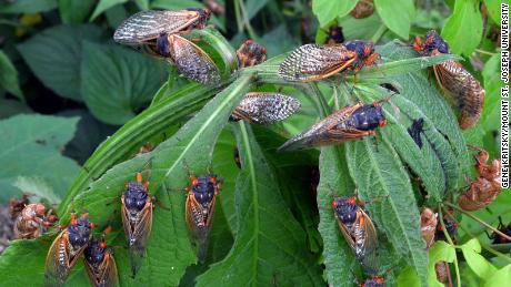 Brood X is almost here. Billions of cicadas to emerge in eastern US