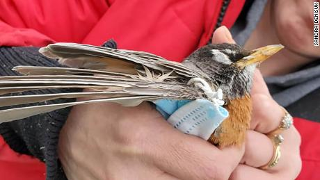An American robin entangled in a face mask found in British Columbia by Sandra Denisuk.