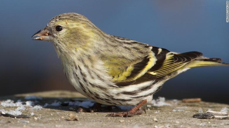 Salmonella infections in 8 states could be tied to wild songbirds, CDC says