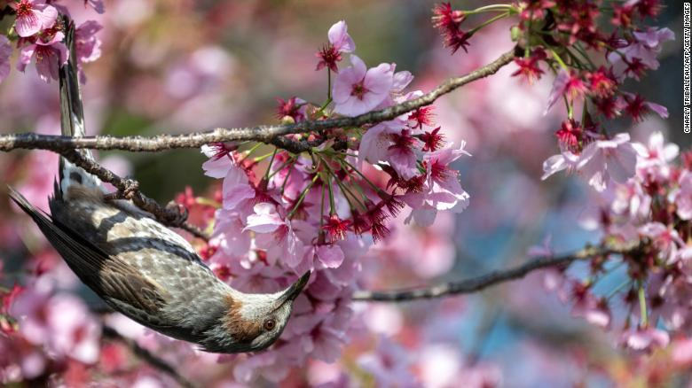 A bird next to cherry blossoms at a park in Tokyo, Japan, on March 23.