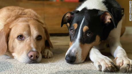 Pets may need a few weeks to get used to your new routine. Izzy and Bello say you should just stay home.