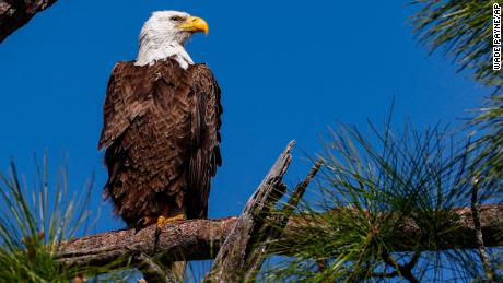 Rat poisoning was found in over 80% of the bald eagles in the US study.