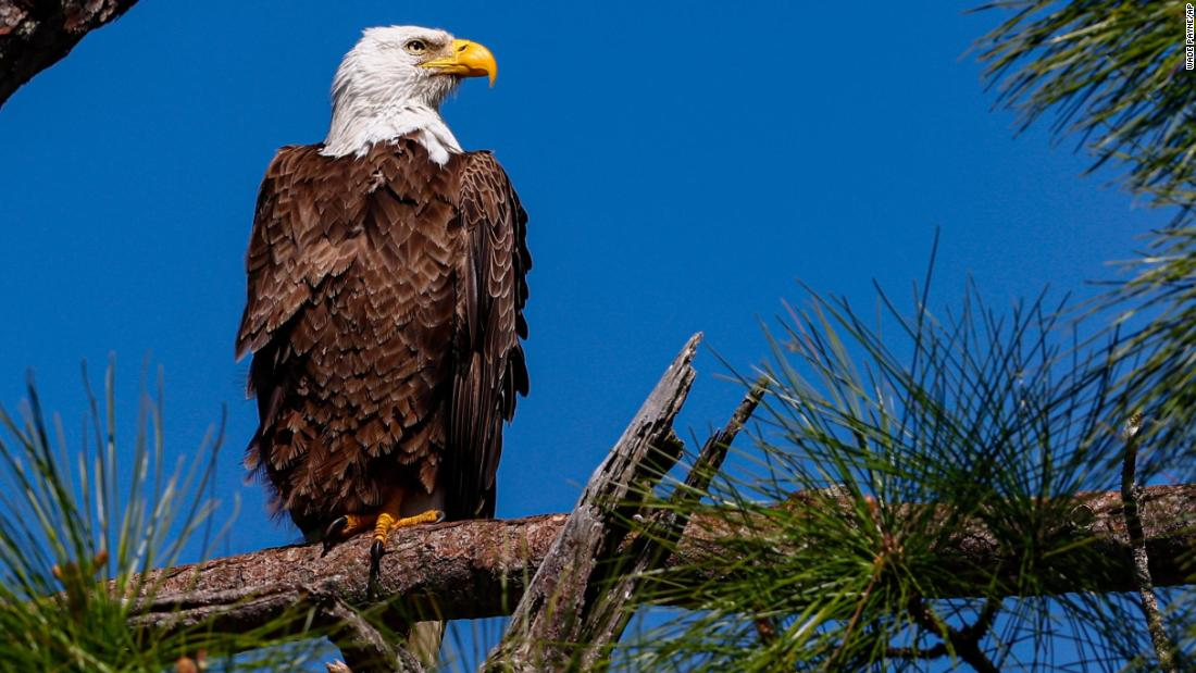 Rat poison found in over 80% of bald eagles in a US study