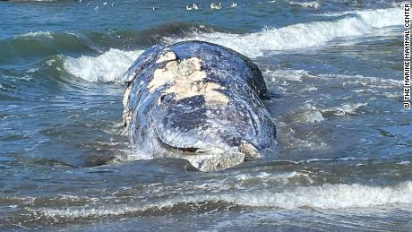 The gray whale isn't endangered, but its population has dipped fairly significantly in recent years.
