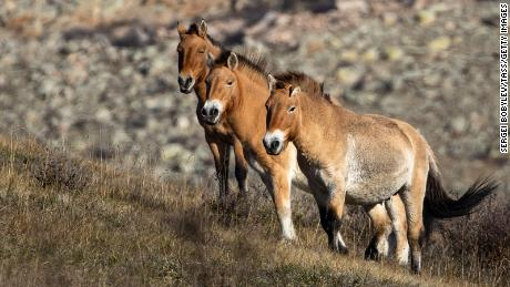 One of the most iconic reintroduction success stories, Przewalski's horse went extinct in the wild in the 1960s, but were returned to the Mongolian steppe in 1992.